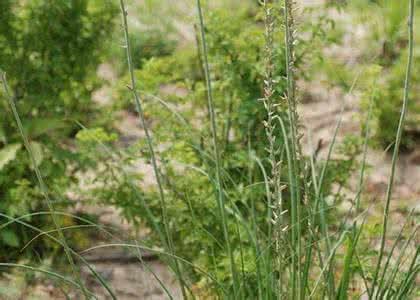 田野里的一种免费杂草,农民滋阴补肾、清肺化痰都靠它