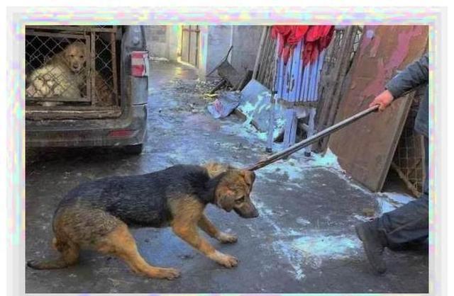 狗狗被拉去屠宰场的前一秒:浑身发抖、哀叫连极速瘦身运动多久减肥图片