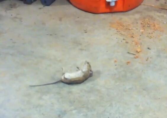 老鼠装死骗猫咪,主人识破不揭穿,笑死人!_hao1