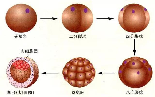 试管婴儿移植囊胚成功率更高?/