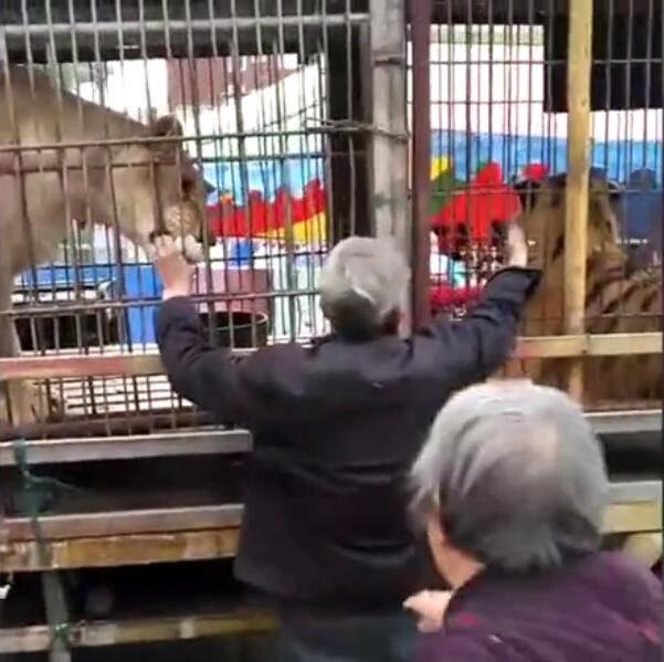 惊魂!山西临汾马戏团老虎表演时失控冲破牢笼 撕咬围观群众