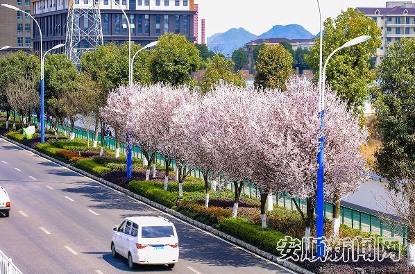花之颜,城中樱,春回黔中举目皆景