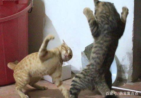 「猫吃什么胖的最快」猫天天