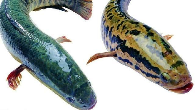 「南方淡水鱼大全」淡水鱼的种类图片