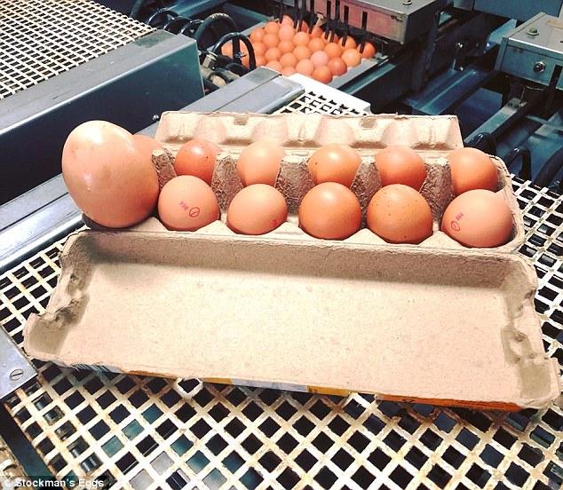 澳大利亚发现奇葩蛋中蛋 个头重量创纪录