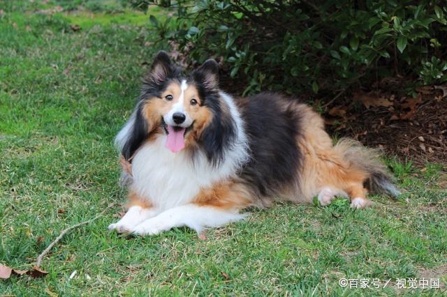喜乐蒂牧羊犬到底是一种什么样的狗狗,有什么特点?
